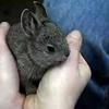 Baby pygmy rabbits at the Oregon Zoo